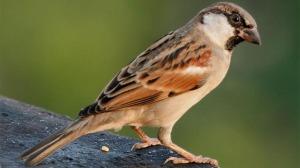 Sparrow State Bird of Bihar